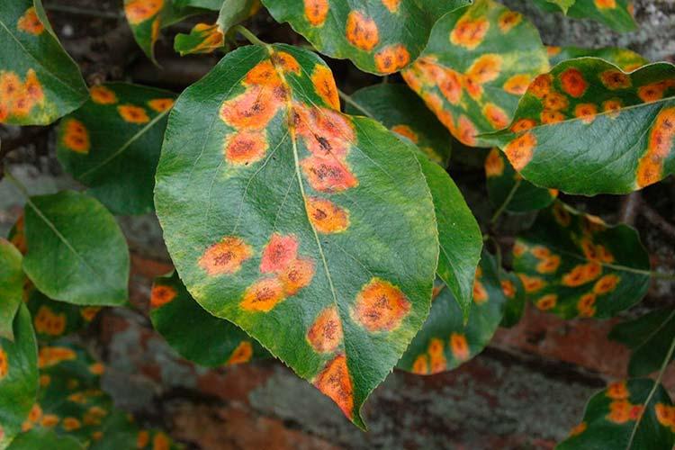 Как победить ржавчину на листьях плодовых деревьев