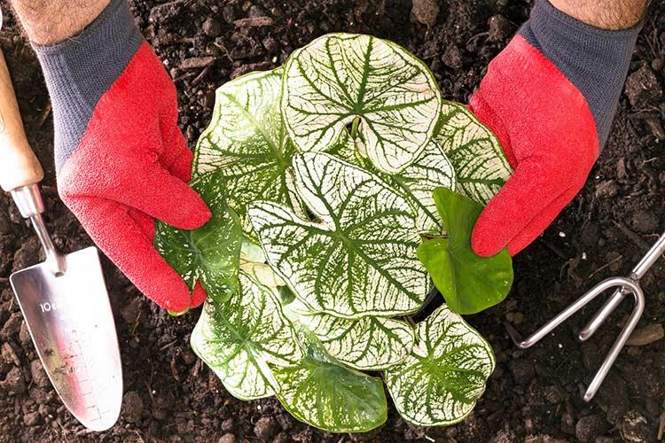 каладиум выращивание и уход в домашних условиях