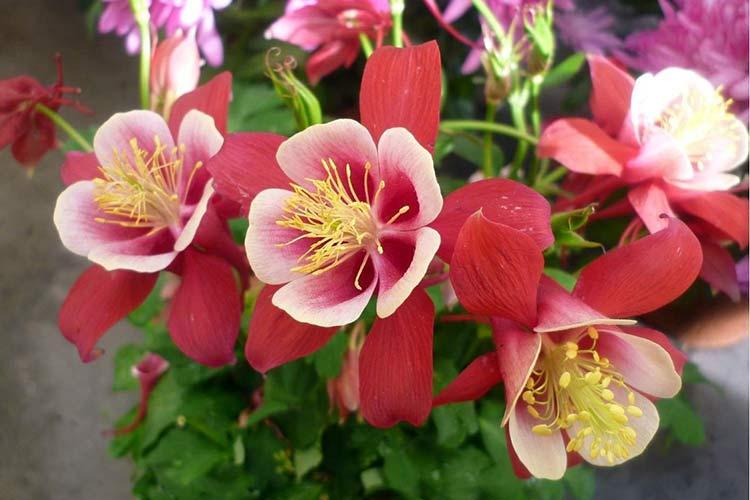 flor-aquilegia-mista Выращивание аквилегии (65 фото): посадка и уход, в открытом грунте, сорта, в домашних условиях, из семян
