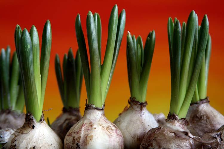 Цветы размножающиеся луковицей фото
