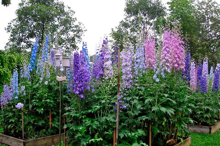 Дельфиниум в дизайне сада с какими цветами сочетается фото