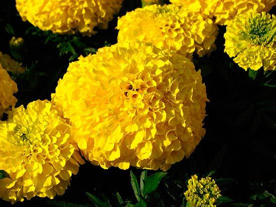 Цветы тагетес посадка и уход 189