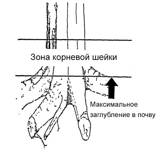 Зона корневой шейки дерева и глубина максимального заглубления