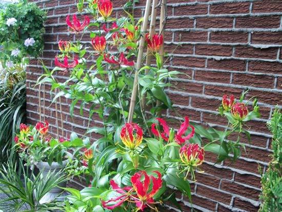 Глориоза в саду