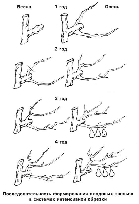 Формирование плодовых звеньев в системах интенсивной обрезки