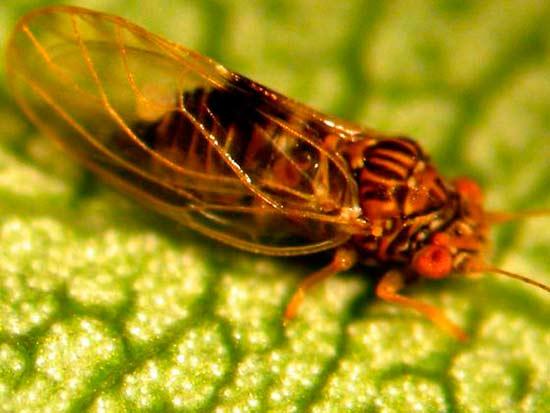 Медяница (Грушевая листоблошка)