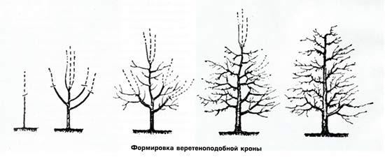 Веретеноподобная крона