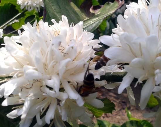 Цветущее кофейное деревое