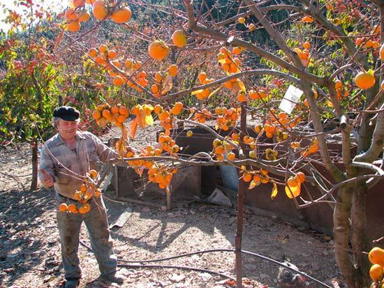 Выращивание инжира в украине в открытом грунте 403