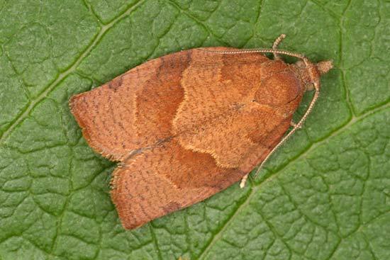 Бабочка листовёртка