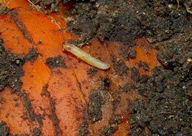 Личинка морковной мухи на моркови