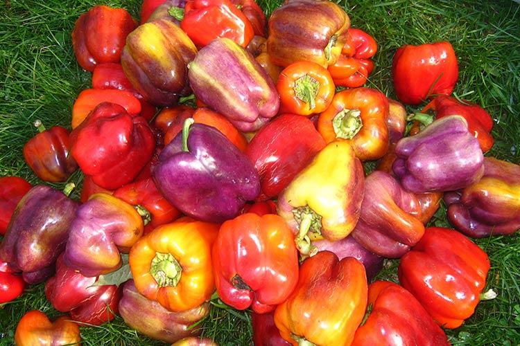Уход и выращивание распространенного болгарского перца