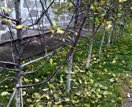 Рис.4. Трехлетний интенсивный сад