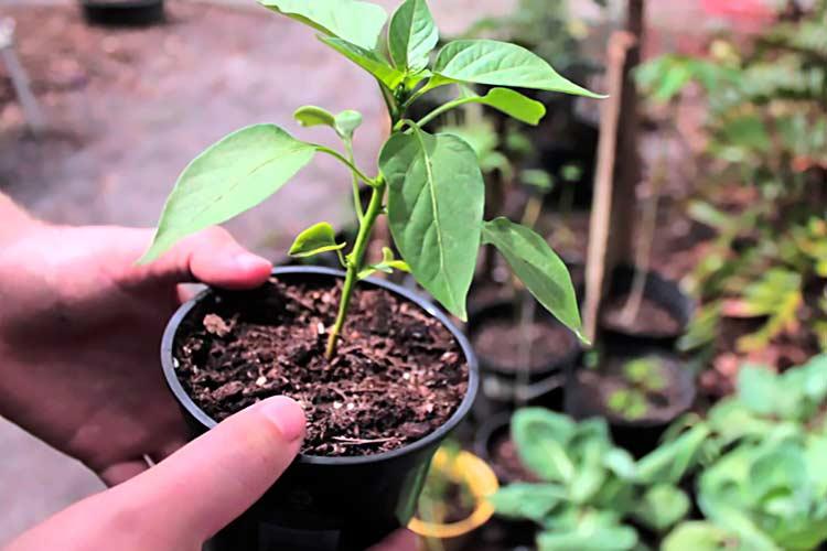 Посев семян перца и освещение рассады