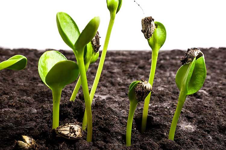 Выращивание рассады баклажанов сроки и подготовка семян
