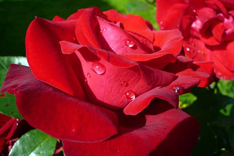 Основные болезни роз и их лечение