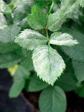 Симптомы мучнистой росы на листьях розы