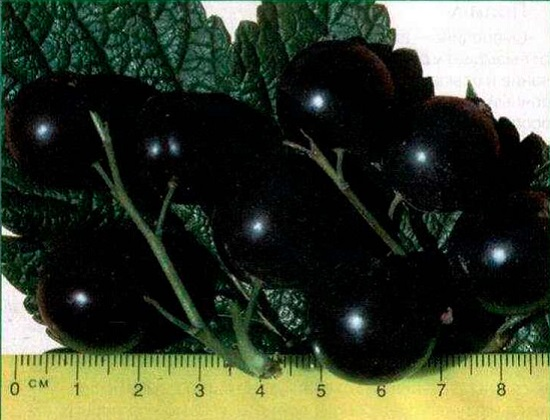Ягоды черной смородины