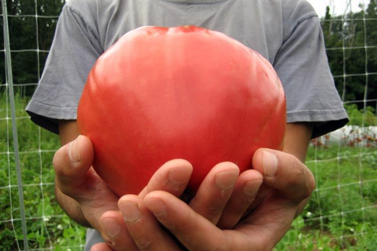 томаты бычье сердце фото
