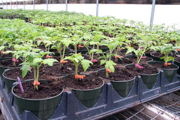 Когда выращивать рассаду в теплице 990