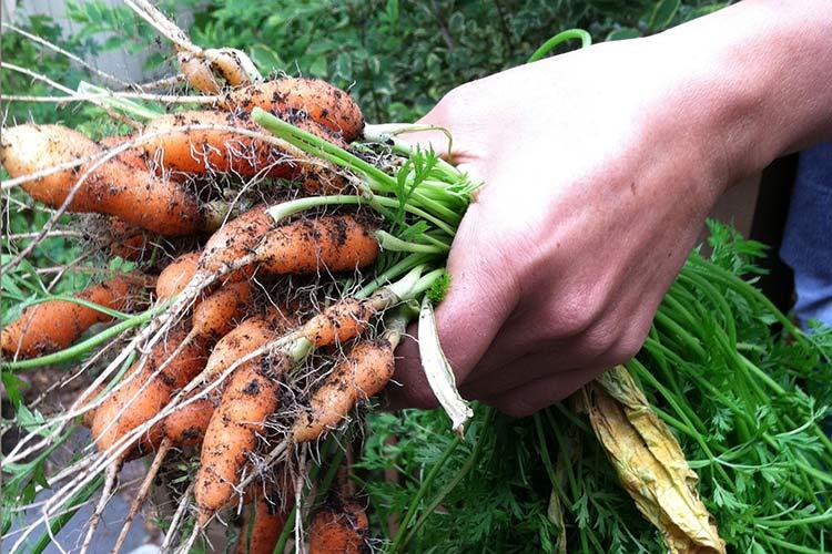 Картинки по запросу морковь уход