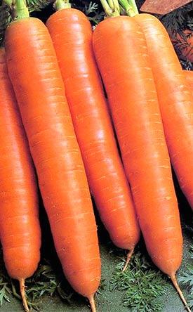 Морковь, сорт Королева осени (сортотип Флакке)