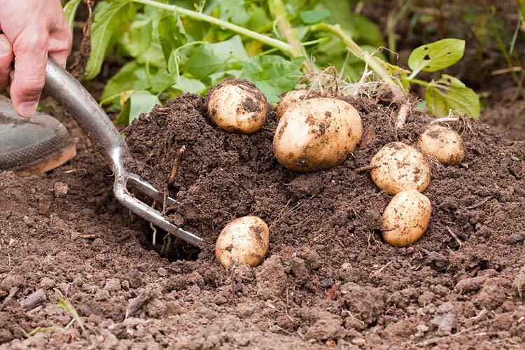 Секреты осенней посадки картофеля