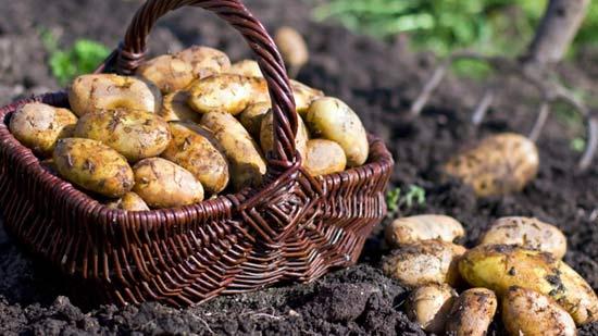Полив картофеля увеличивает урожайность
