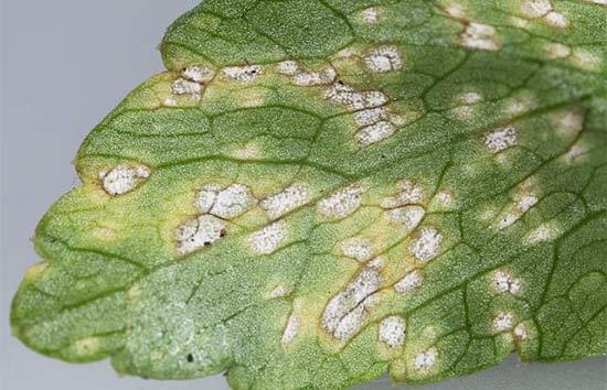 Белая пятнистость (септориоз) на листьях сельдерея