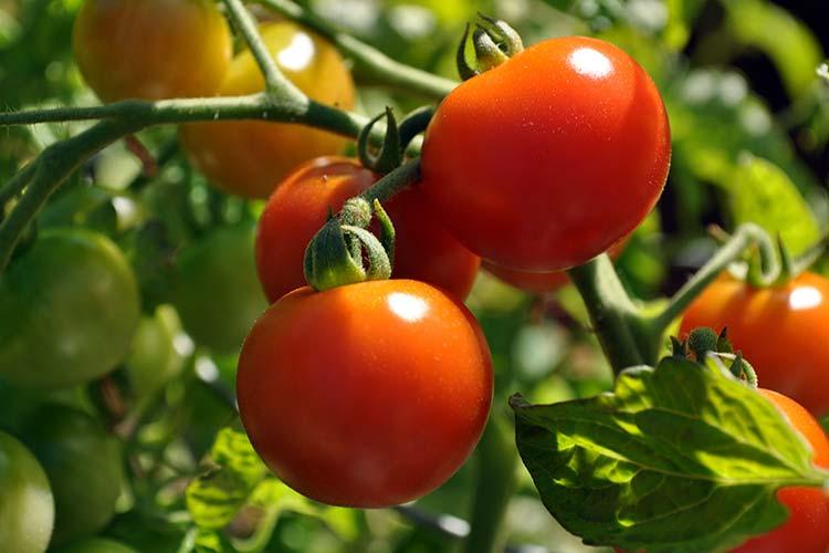 Выращивание помидор и огурцов в одной теплице