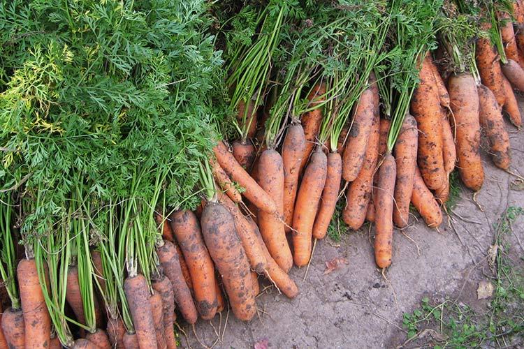 Когда убирать морковь в нижегородской области в 2018 году