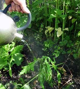 зачем весной поливают кустарники горячей водой