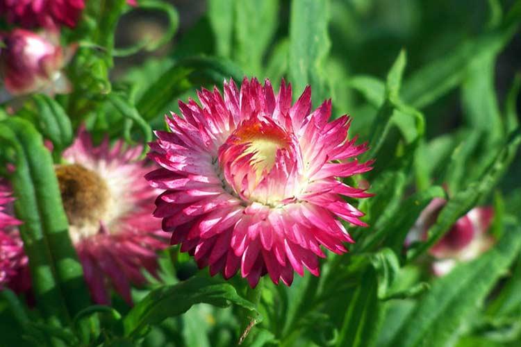 Бессмертник википедия цветок