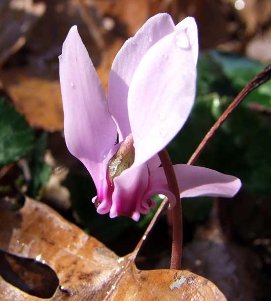Цветок дикого цикламена