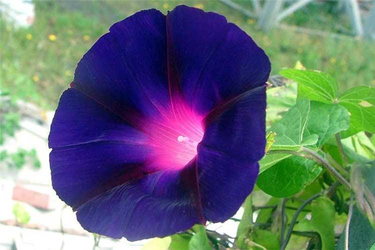 Ипомея пурпурная: садовый вьюнок без претензий