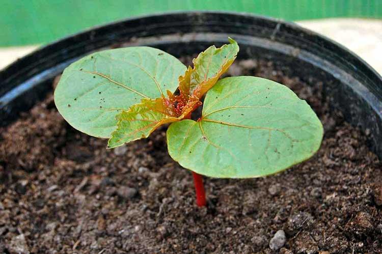 Можно ли выращивать клещевину как комнатное растение?