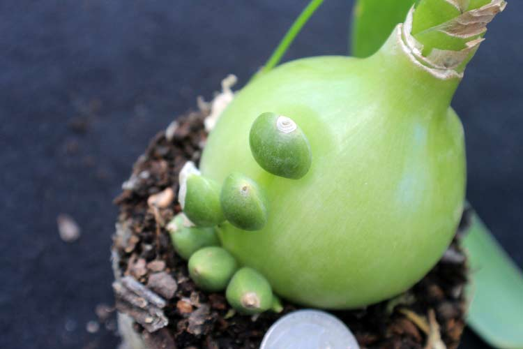 Детки растут на луковице индийского лука