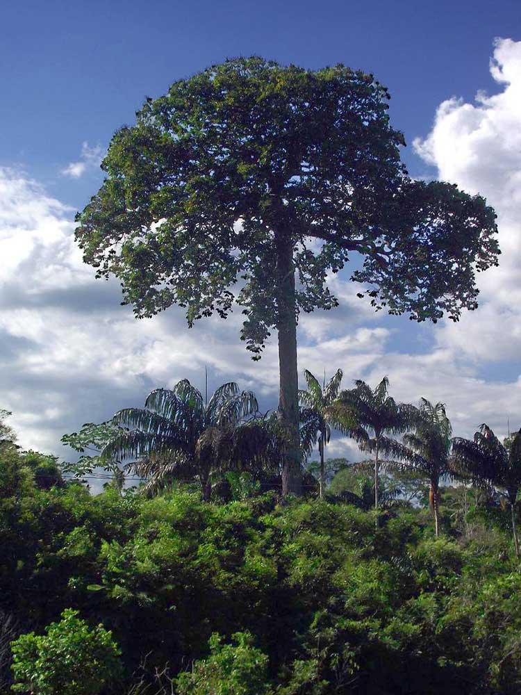 Дерево бразильского ореха