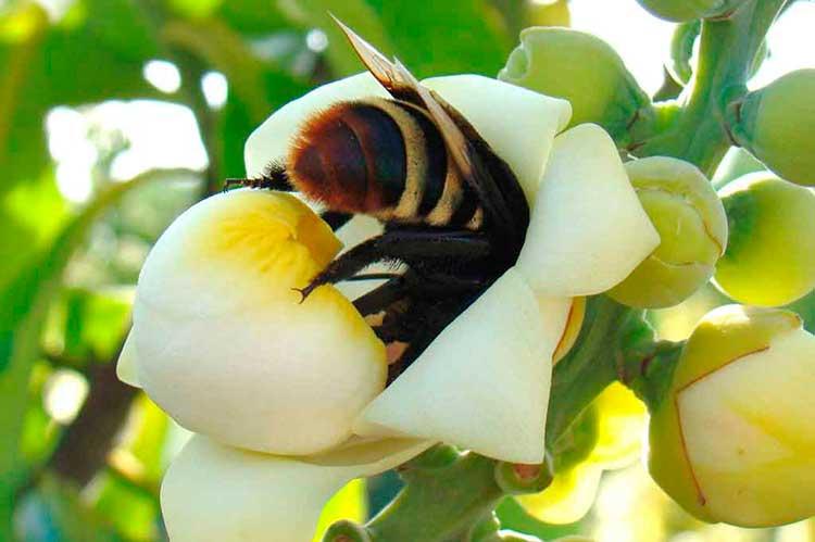 Цветки бертолетии высокой опыляют лишь несколько видов насекомых