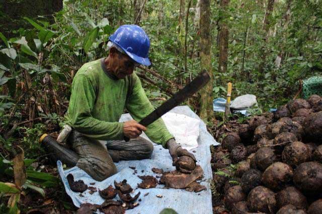 Сбор и добыча бразильских орехов (зерен из плодов бертолетии) в лесах Бразилии