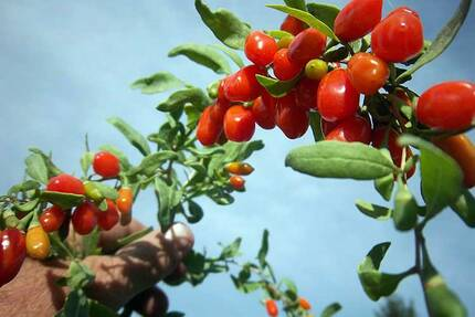 Ягоды годжи на кустах дерезы обыкновенной. Кусты можно выращивать в саду