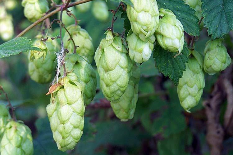 Хмель растение применение для вина