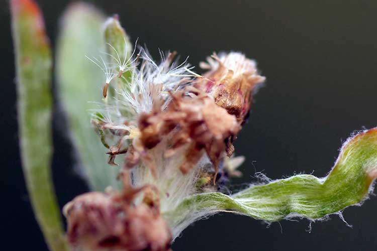 Трава сушеница топяная лечебные свойства и противопоказания