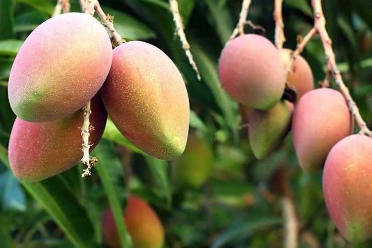 Польза и вред манго для организма мужчин и женщин. На что похож вкус манго