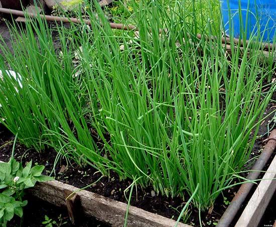Лук-батун зимостойкий, дает урожай в конце апреля