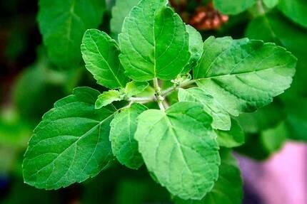 Молодые листья базилика священного, туласи, тулси