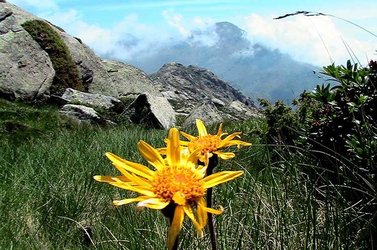 Арника горная в природных условиях