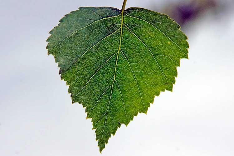 Молодые листья березы лечебные свойства