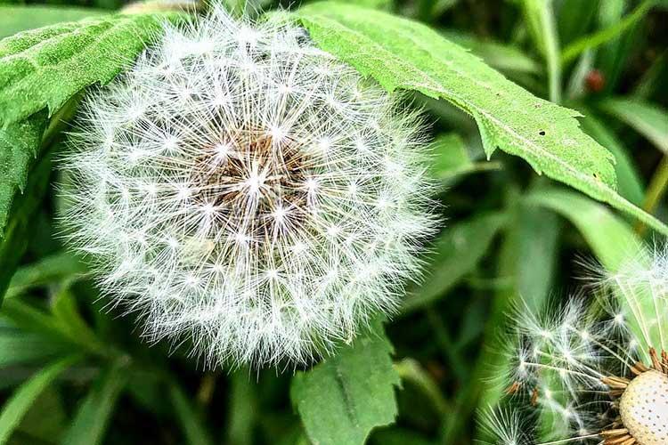 Семена одуванчика созрели и готовы улететь от малейшего дуновения