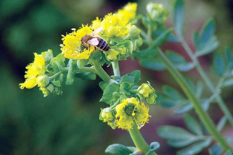 Рута душистая привлекает множество насекомых